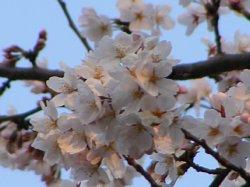 浦和 桜2.JPG