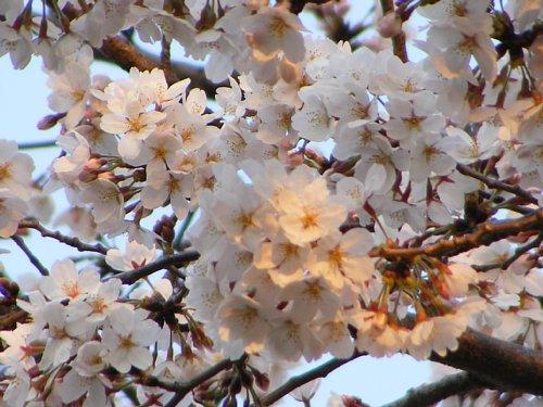 浦和 桜3.JPG