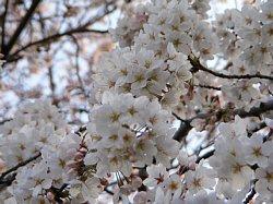 浦和 桜5.JPG