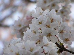 浦和 桜6.JPG