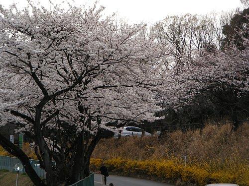 G 桜13.JPG