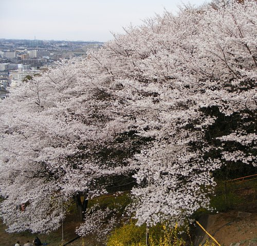 G 桜14.JPG