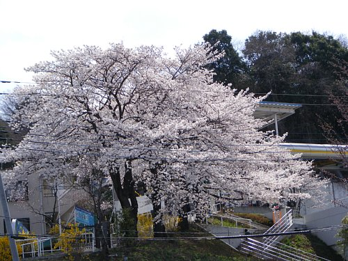 G 桜7.JPG